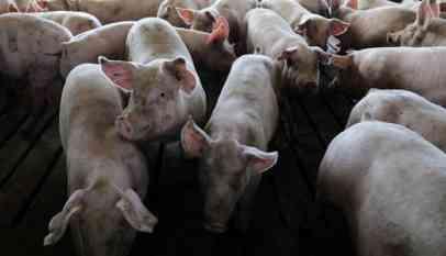 الخنازير تهاجم سيدة روسية وتأكلها وهي حية في أودمورتيا