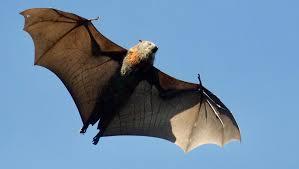 كارثة.. الخفافيش سبب انتشار كورونا