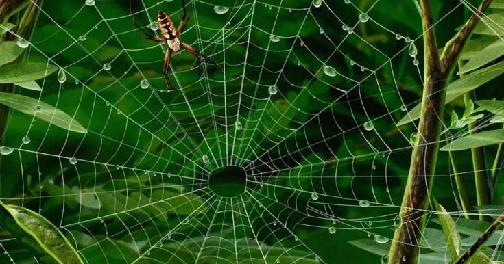كيف يبني العنكبوت بيته؟