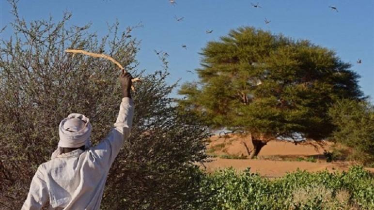 الجراد الصحراوي يضرب كينيا بعد الصومال وأثيوبيا